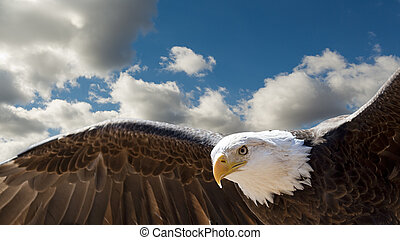 bald eagle flying - closeup of a bald eagle flying in a...