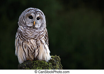 Barred Owl - Closeup of a Barred Owl against a blurred...
