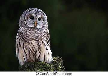 Barred Owl - Closeup of a Barred Owl against a blurred...