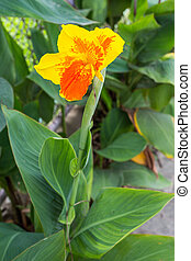 Closeup of a beautiful canna Lily