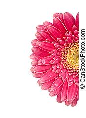 Closeup of a beautiful pink gerbera blossom