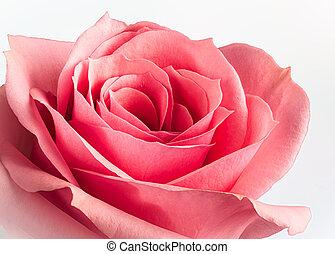 Closeup of a Beautiful Pink Rose