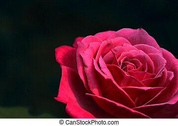 closeup of a beautiful pink rose on dark background
