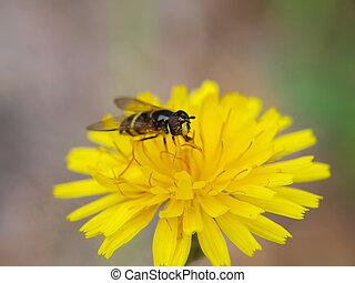 Closeup of a bee feeding on a sharp yellow dandelion