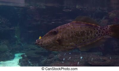 closeup of a big brown and black spotted wrasse swimming in the water