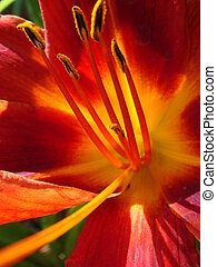 Closeup of a big red tiger lily in the garden summer. Bright red beautiful asiatic macro. Red lily background, soft selective focus. Full blooming of deep red lily in summer flower garden.