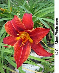 Closeup of a big red tiger lily in the garden summer. Bright red beautiful asiatic macro