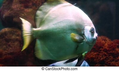 closeup of a big tropical discus fish swimming in the water,...