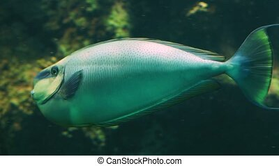 closeup of a bignose unicornfish swimming by, funny tropical aquarium pet from the indo pacific ocean