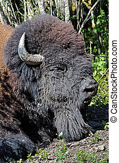 Closeup of a bison head sleeping in the summer