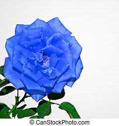 blue rose on white
