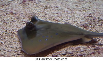 closeup of a blue spotted stingray on the bottom of the aquarium, tropical fish specie from Asia