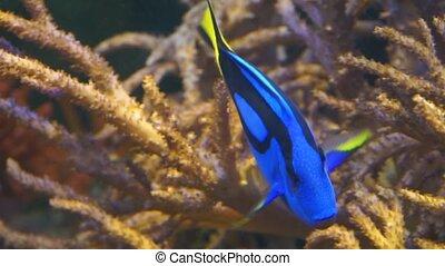 closeup of a blue tang surgeonfish, popular tropical aquarium pet, exotic fish specie from the pacific ocean