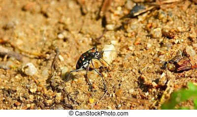 """Closeup of a Brightly Colored, Iridescent Tiger Beetle in..."