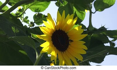 Closeup of a brilliant yellow sunflower hanging downward in the sunlight in a garden. Sitting bumblebee on a blossoming sunflower.