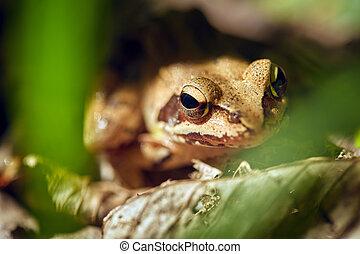 Closeup of a brown frog