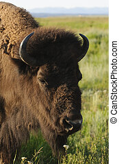 closeup of a Buffalo