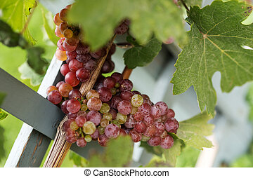 Closeup of a bunch of red grapes on grapevine