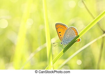 Closeup of a butterfly (Plebejus argus) in spring meadow