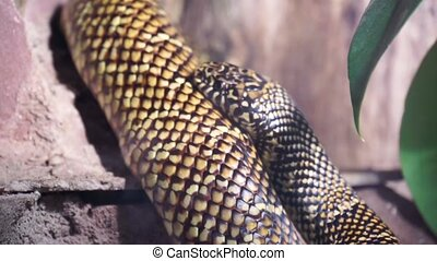 closeup of a chain king snake moving around, popular ...