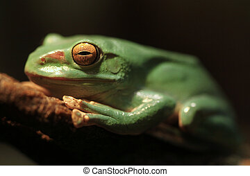Closeup of A Chinese Gliding Frog With Eyes Closed - A...