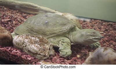 Closeup of a chinese softshell turtle trionyx resting, -...