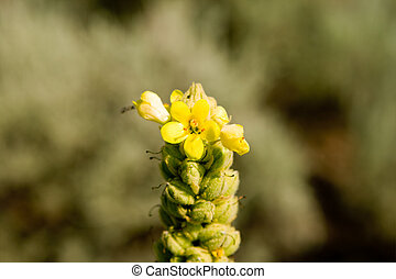 Closeup of a Common Mullein Yellow Flower - Closeup of a...