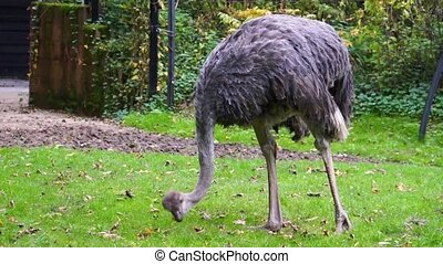 closeup of a common ostrich eating grass, flightless bird species from Africa