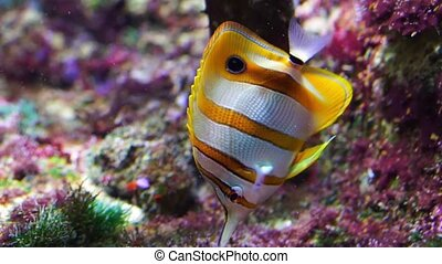 closeup of a copperband butterflyfish swimming underwater, tropical fish specie from the pacific and indian sea