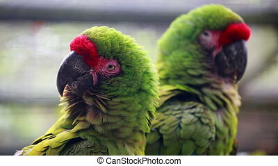 Closeup Of A Couple Of Military Macaw