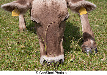 Closeup of a cow grazing