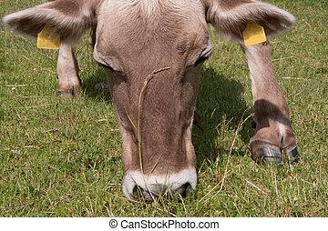 Closeup of a cow grazing