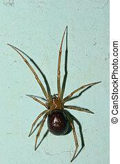 Closeup of a cupboard spider (false widow, Steatoda Grossa) on the wall