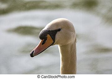 Closeup of a curious swan