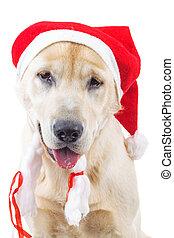closeup of a cute labrador retriever wearing santa claus hat