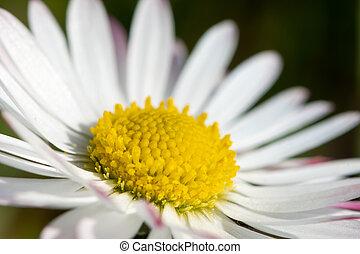 Closeup of a daisy in the garden