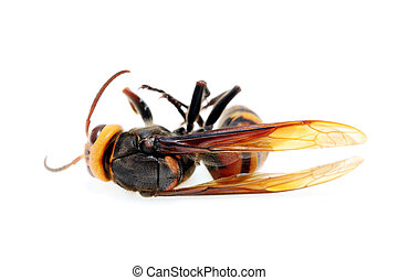 Closeup of a dead hornet on white background