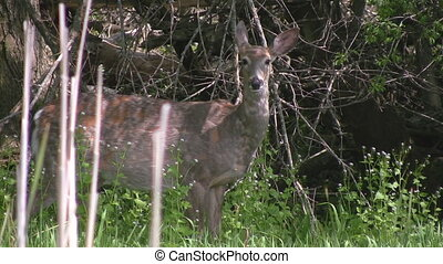 Closeup of a deer in the tall grass - A closeup of a white...