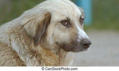 closeup of a dog face slow motion video - closeup of sad...