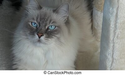 Closeup of a domestic cat with beautiful blue eyes.