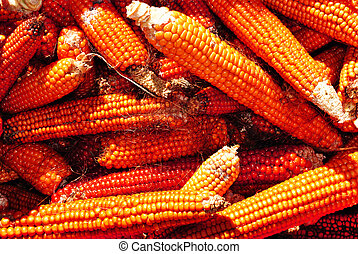 Closeup of a drying corn crop