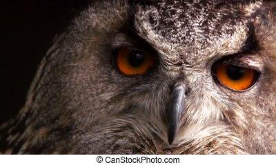 closeup of a eagle owl