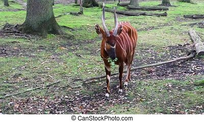 closeup of a eastern mountain bongo chewing on a branch with...