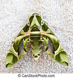 Closeup of a Egyptian sphinxmoth