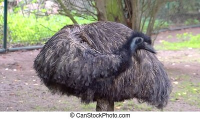 closeup of a emu preening its feathers, bird taking care of its feathers, flightless bird specie from Australia