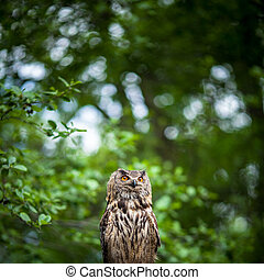 Closeup of a Eurasian Eagle-Owl (Bubo bubo)