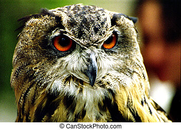 European Eagle Owl - Closeup of a European Eagle Owl ,Bubo ...