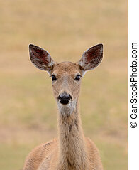 Closeup of a female Whitetail Deer