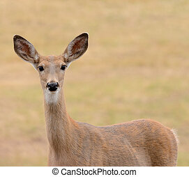 Closeup of a female Whitetail Deer