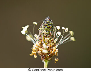 flower spike of Plantago - Closeup of a flower spike of ...